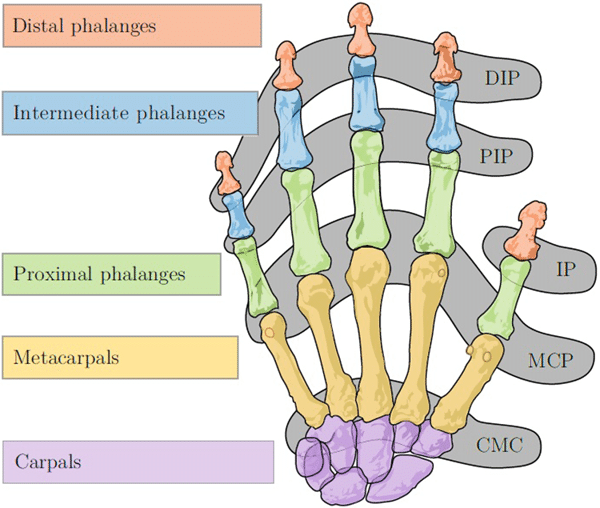 Bones-and-joints-of-the-human-hand-DIP-Distal-Interphalangeal-joint-PIPProximal